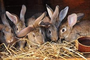 Feeding rabbits on farm