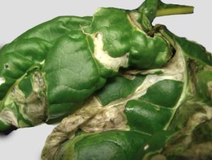 Chard_leaf_miner_damage_(blisters)