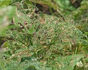 Skeletonized bean leaves