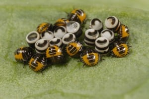 harlequinbug eggs and nymphs