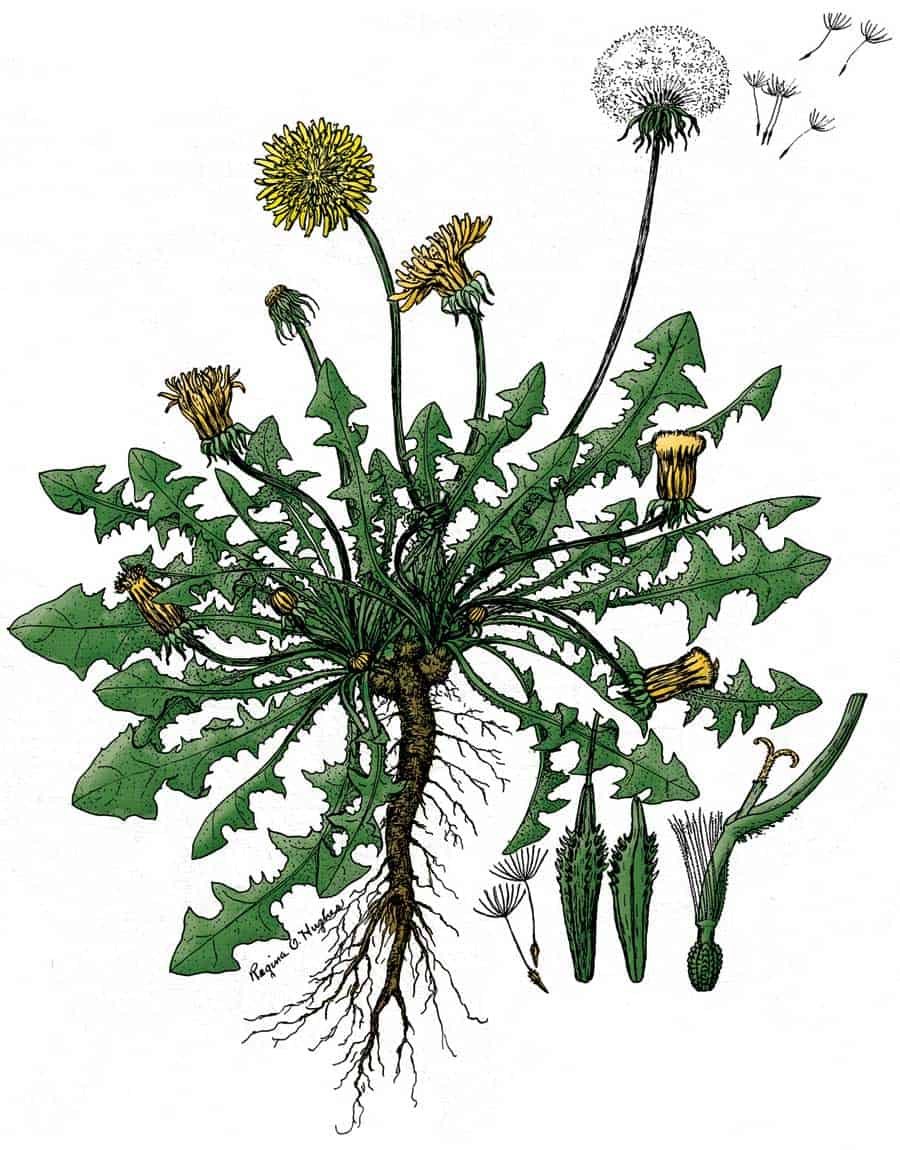 Seven Common Colorado Weeds In Your Garden Urban Farm Colorado