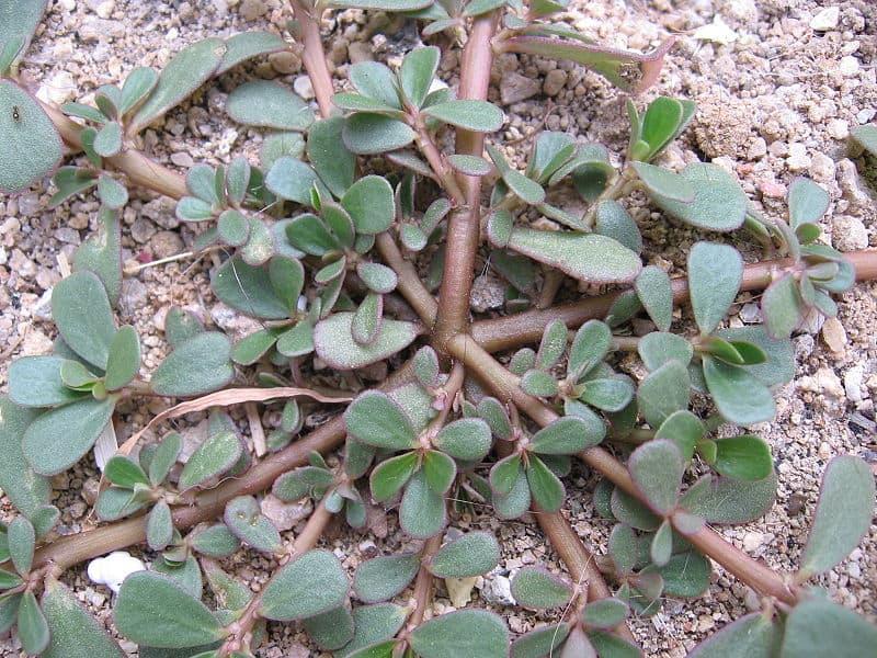 Seven common colorado weeds in your garden urban farm colorado - Like that garten ...